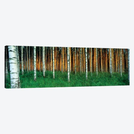Birch Trees, Saimma, Lakelands, Finland Canvas Print #PIM15280} by Panoramic Images Canvas Wall Art