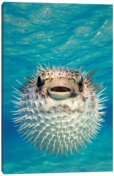 Close-Up Of A Puffer Fish, Bahamas Canvas Art Print
