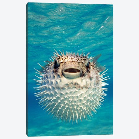 Close-Up Of A Puffer Fish, Bahamas Canvas Print #PIM15287} by Panoramic Images Art Print