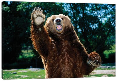 Grizzly Bear On Hind Legs Canvas Art Print