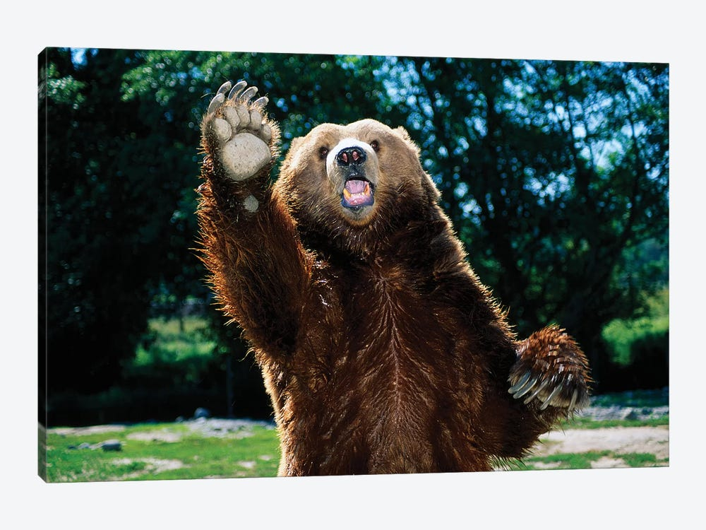 Grizzly Bear On Hind Legs by Panoramic Images 1-piece Canvas Art