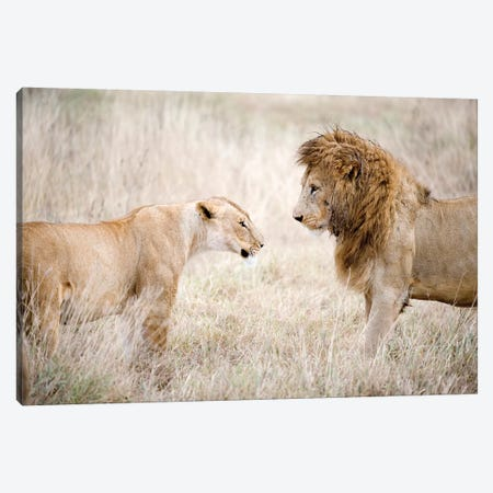 Lion And A Lioness Standing Face To Face In A Forest, Ngorongoro Crater, Ngorongoro, Tanzania 3-Piece Canvas #PIM15303} by Panoramic Images Art Print