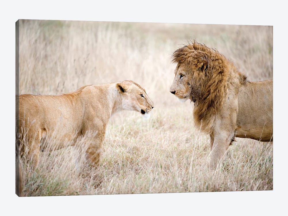 Lion And A Lioness Standing Face To Face In A Forest, Ngorongoro Crater, Ngorongoro, Tanzania by Panoramic Images 1-piece Canvas Art Print
