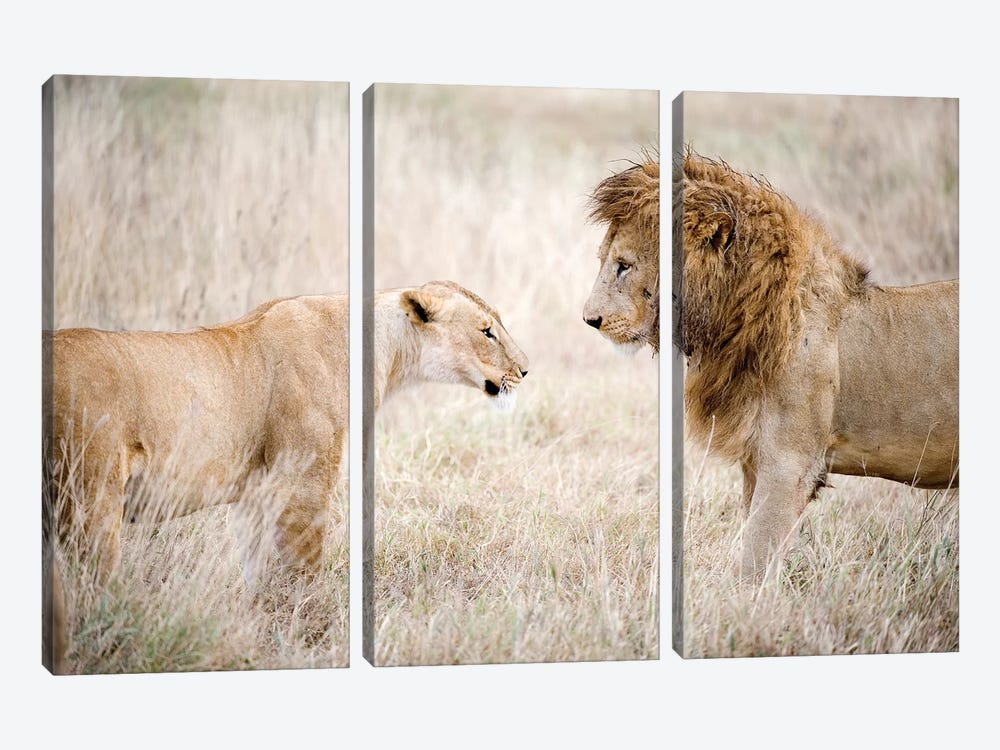 Lion And A Lioness Standing Face To Face In A Forest, Ngorongoro Crater, Ngorongoro, Tanzania by Panoramic Images 3-piece Canvas Print