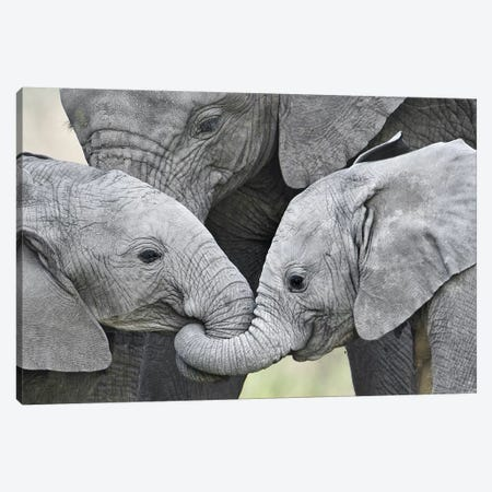 African Elephant Calves Holding Trunks, Tanzania Canvas Print #PIM15306} by Panoramic Images Canvas Art