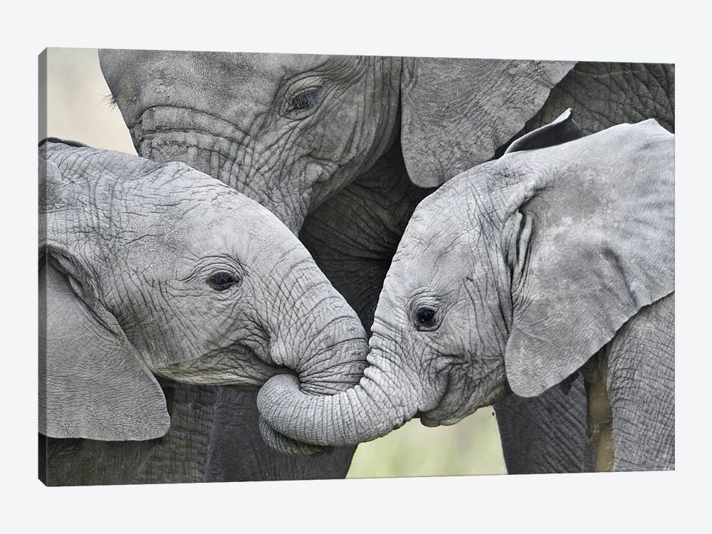 African Elephant Calves Holding Trunks, Tanzania by Panoramic Images 1-piece Canvas Art