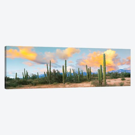 Cardon Cactus Plants In A Forest, Loreto, Baja California Sur, Mexico Canvas Print #PIM15307} by Panoramic Images Canvas Wall Art