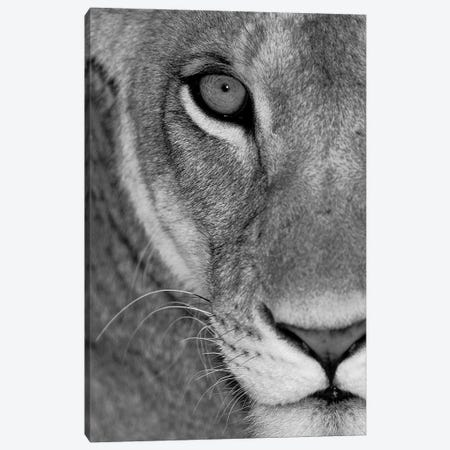 Lioness Close-Up Tanzania Africa 3-Piece Canvas #PIM15310} by Panoramic Images Canvas Wall Art