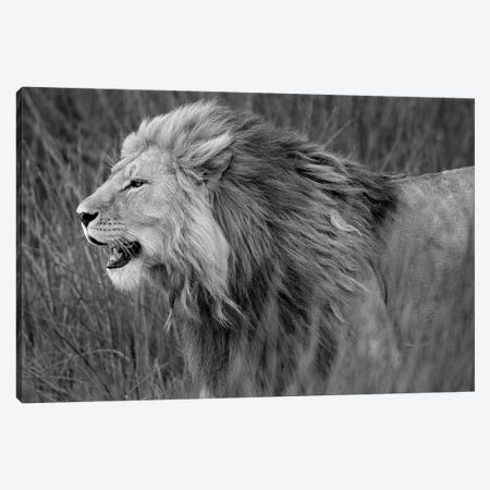 Side Profile Of A Lion In A Forest, Ngorongoro Conservation Area, Tanzania Canvas Print #PIM15311} by Panoramic Images Canvas Wall Art