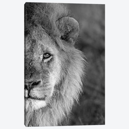 Close-Up Of A Lion, Ngorongoro Conservation Area, Arusha Region, Tanzania Canvas Print #PIM15312} by Panoramic Images Canvas Wall Art