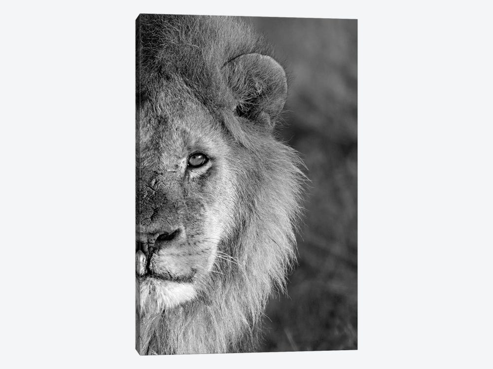 Close-Up Of A Lion, Ngorongoro Conservation Area, Arusha Region, Tanzania by Panoramic Images 1-piece Canvas Print