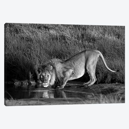 Side Profile Of A Lion Drinking Water, Ngorongoro Conservation Area, Arusha Region, Tanzania Canvas Print #PIM15313} by Panoramic Images Canvas Art
