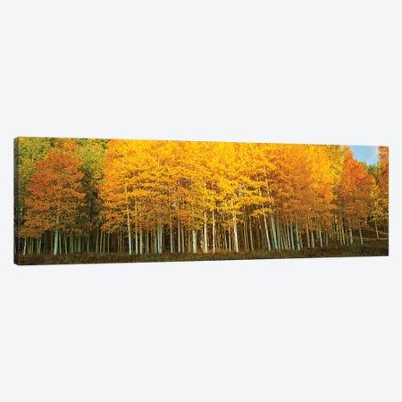 Aspen trees in autumn, Last Dollar Road, Telluride, Colorado, USA Canvas Print #PIM15363} by Panoramic Images Art Print