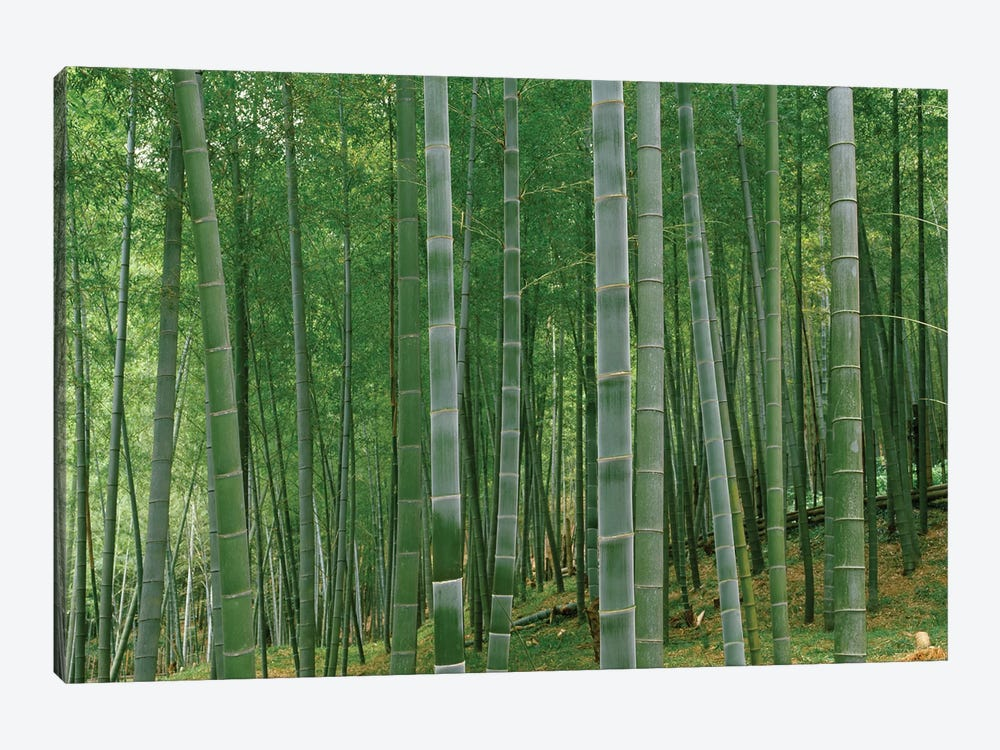 Bamboo trees in a forest, Fukuoka, Kyushu, Japan by Panoramic Images 1-piece Canvas Artwork