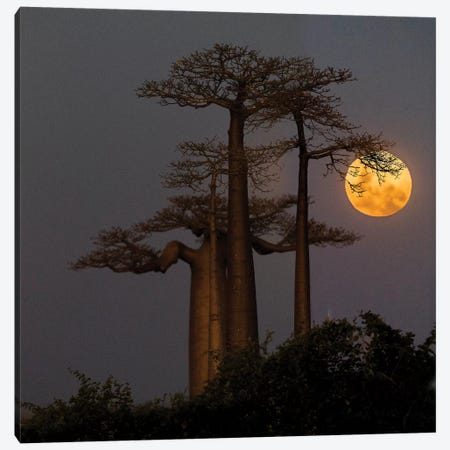 Baobabs  and moon, Morondava, Madagascar 3-Piece Canvas #PIM15368} by Panoramic Images Canvas Print