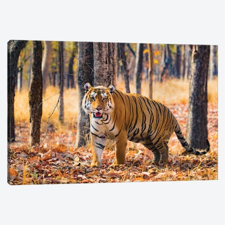 Bengal Tiger, India Canvas Print #PIM15378} by Panoramic Images Canvas Art