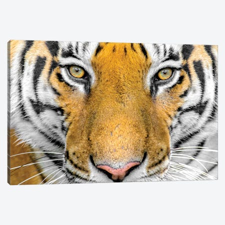 Bengal tiger head close up, India Canvas Print #PIM15379} by Panoramic Images Canvas Art