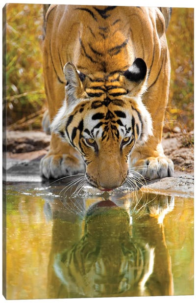 Bengal tiger reflecting in water, India Canvas Art Print