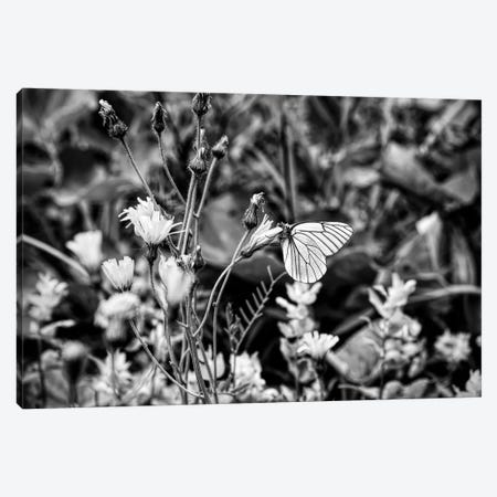 Black veined white butterfly on flower head, Tyrol, Austria 3-Piece Canvas #PIM15386} by Panoramic Images Canvas Artwork