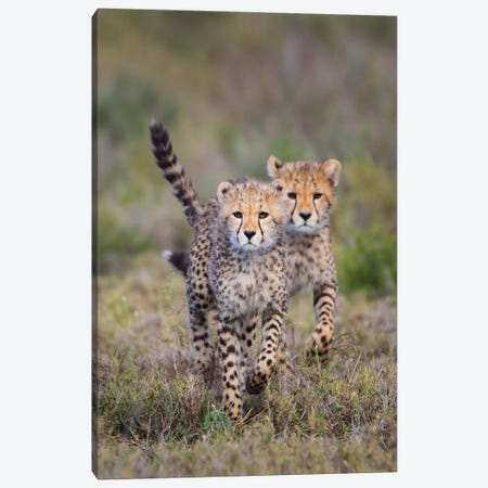 Cheetah  cubs running towards camera, Ngorongoro Conservation Area, Tanzania Canvas Print #PIM15406} by Panoramic Images Canvas Art Print