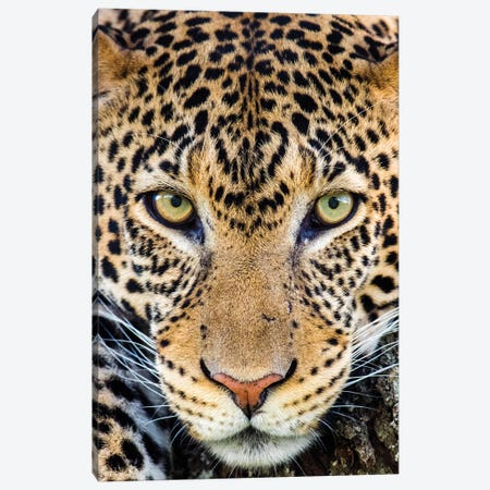Close up of cheetah  , Ngorongoro Conservation Area, Tanzania, Africa Canvas Print #PIM15410} by Panoramic Images Art Print