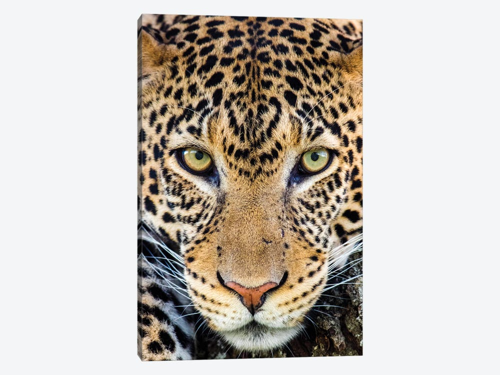 Close up of cheetah  , Ngorongoro Conservation Area, Tanzania, Africa by Panoramic Images 1-piece Canvas Wall Art