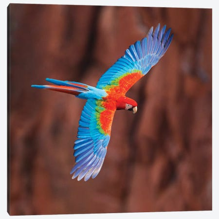 A Colorful Flying Macaw, Porto Jofre, Mato Grosso, Pantanal, Brazil Canvas Print #PIM15412} by Panoramic Images Art Print