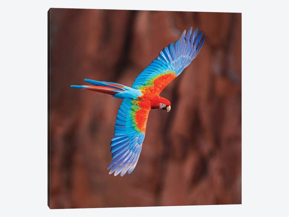 A Colorful Flying Macaw, Porto Jofre, Mato Grosso, Pantanal, Brazil by Panoramic Images 1-piece Canvas Art