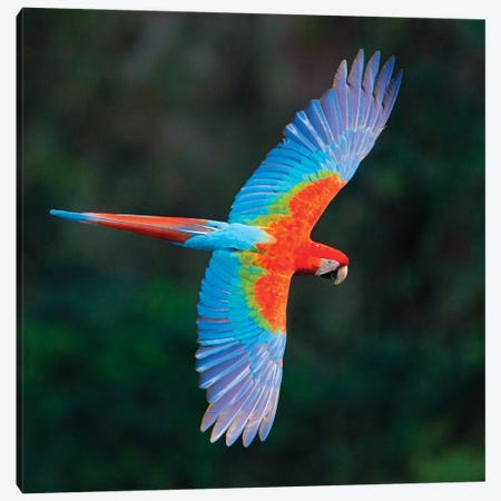 A Colorful Flying Macaw, Porto Jofre, Mato Grosso, Pantanal, Brazil II Canvas Print #PIM15413} by Panoramic Images Art Print