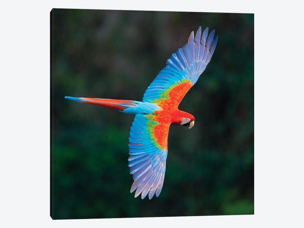 A Colorful Flying Macaw, Porto Jofre, Mato Grosso, Pantanal, Brazil II by Panoramic Images 1-piece Art Print