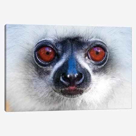 Close up of golden diademed sifaka ,Madagascar Canvas Print #PIM15414} by Panoramic Images Canvas Wall Art