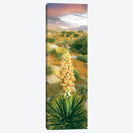 Close up of Spanish Bayonet, Culp Valley, Anza-Borrego Desert State Park, California, USA Canvas Print #PIM15416} by Panoramic Images Canvas Wall Art