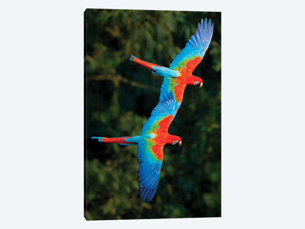 Two Colorful Flying Macaws, Porto Jofre, Mato Grosso, Pantanal, Brazil by Panoramic Images 1-piece Canvas Art