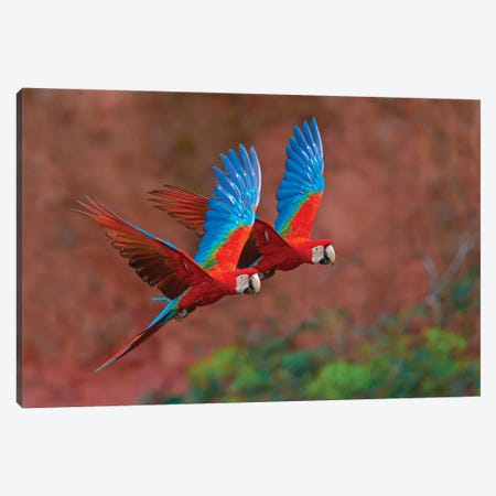 Two Colorful Flying Macaws, Porto Jofre, Mato Grosso, Pantanal, Brazil II Canvas Print #PIM15419} by Panoramic Images Art Print
