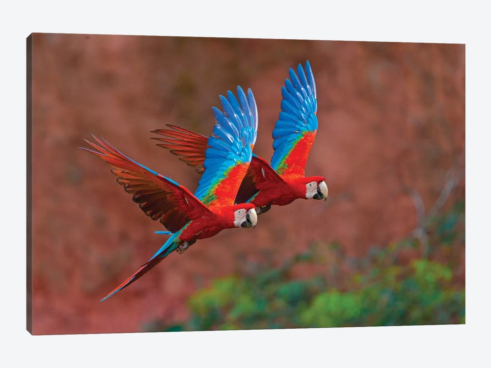 Two Colorful Flying Macaws, Porto Jofre, Mato Grosso, Pantanal, Brazil II by Panoramic Images 1-piece Art Print