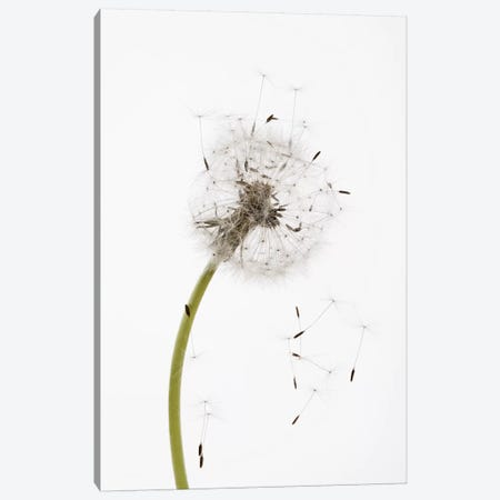 Close-up Dandelion seeds Canvas Print #PIM15422} by Panoramic Images Canvas Art