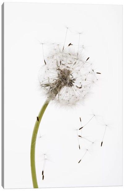 Close-up Dandelion seeds Canvas Art Print