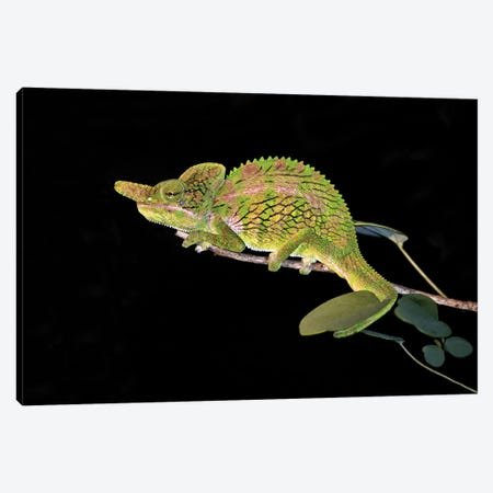 Close-up of a Labord's chameleon , Madagascar Canvas Print #PIM15424} by Panoramic Images Canvas Print