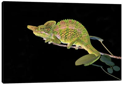 Close-up of a Labord's chameleon , Madagascar Canvas Art Print