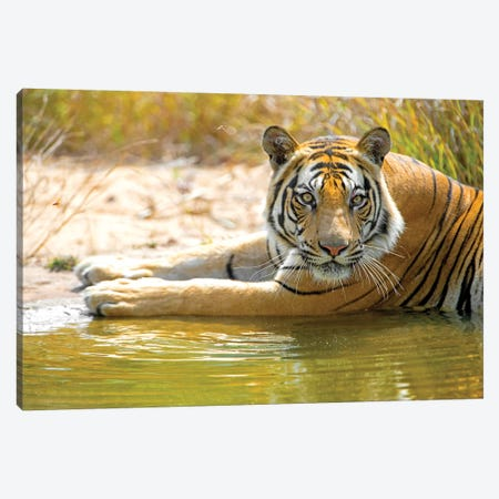 Close-up of Bengal tiger, India Canvas Print #PIM15428} by Panoramic Images Canvas Art