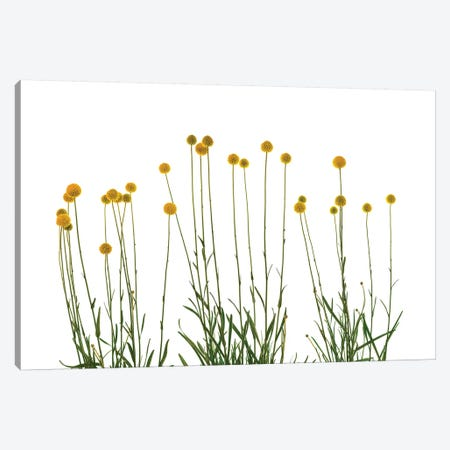 Close-up of Craspedia flowers Canvas Print #PIM15434} by Panoramic Images Canvas Art