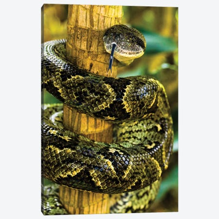 Close-up of Madagascar ground boa , Madagascar Canvas Print #PIM15437} by Panoramic Images Canvas Wall Art