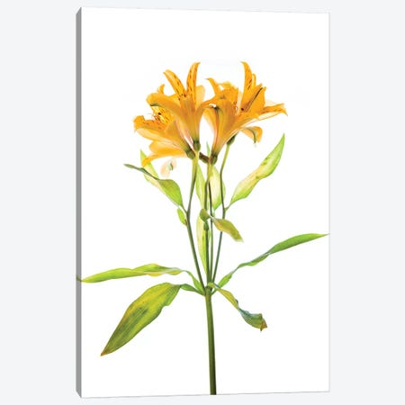 Close-up of Peruvian lily flowers Canvas Print #PIM15440} by Panoramic Images Canvas Artwork