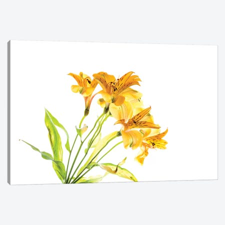 Close-up of Peruvian lily flowers Canvas Print #PIM15441} by Panoramic Images Canvas Art