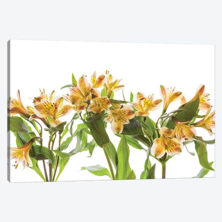 Close-up of Peruvian lily flowers Canvas Print #PIM15442} by Panoramic Images Canvas Artwork