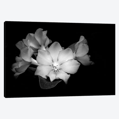 Close-up of Rhododendron flowers, California, USA Canvas Print #PIM15443} by Panoramic Images Canvas Wall Art