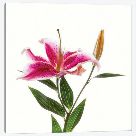 Close-up of Stargazer Lily against white background Canvas Print #PIM15445} by Panoramic Images Canvas Print