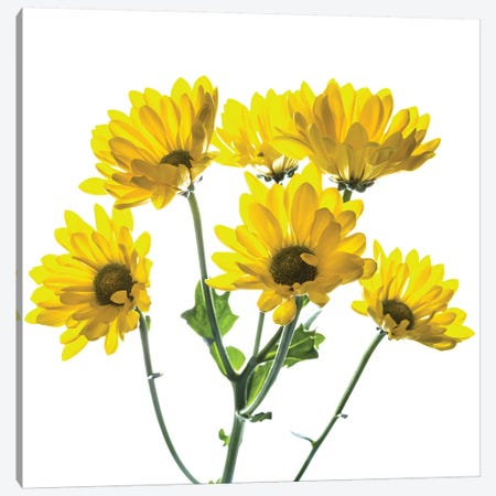 Close-up of yellow mums flowers against white background Canvas Print #PIM15449} by Panoramic Images Canvas Wall Art