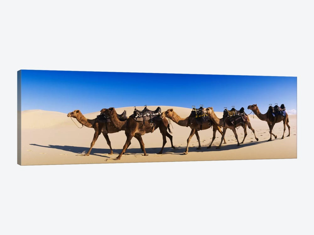 Camels walking in the desert by Panoramic Images 1-piece Canvas Art