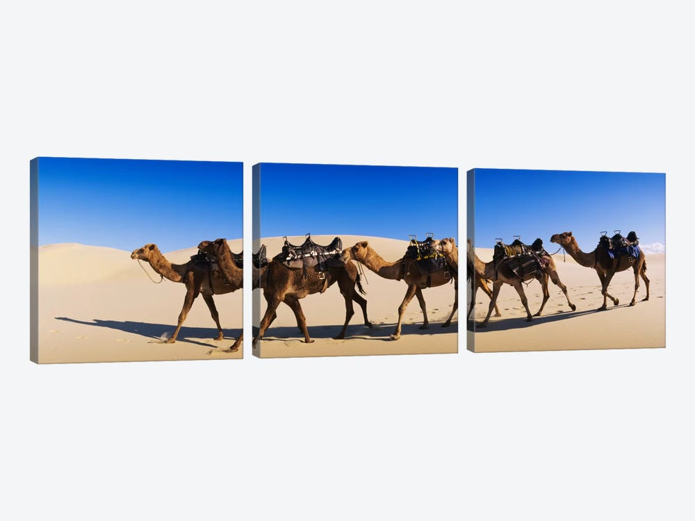 Camels walking in the desert by Panoramic Images 3-piece Canvas Wall Art